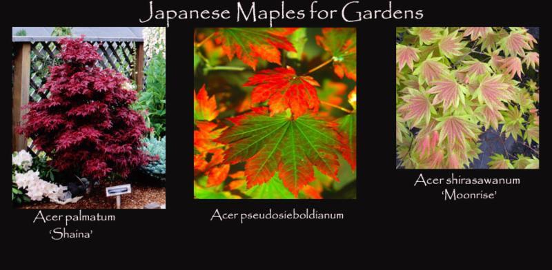 Japanese Maples for Gardens
