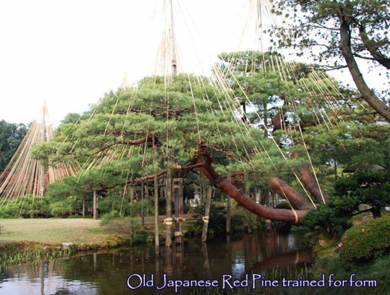 Old Japanese Red Pine