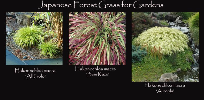 Japanese Forest Grass for Gardens
