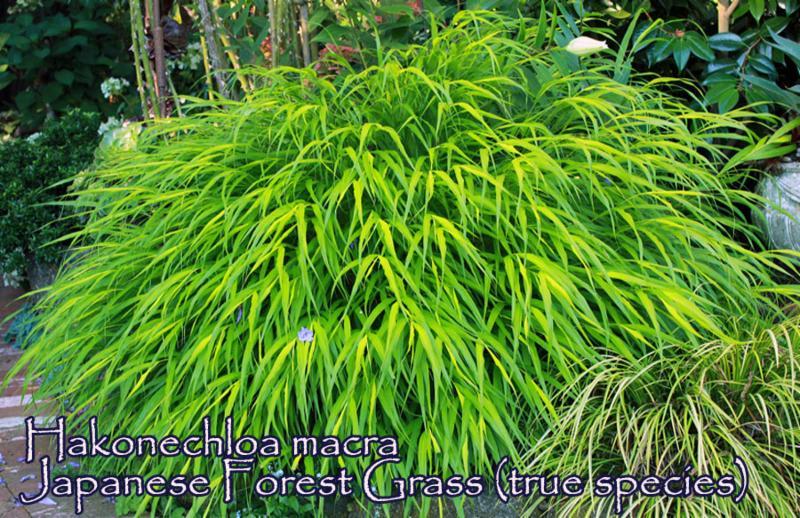 Japanese Forest Grass