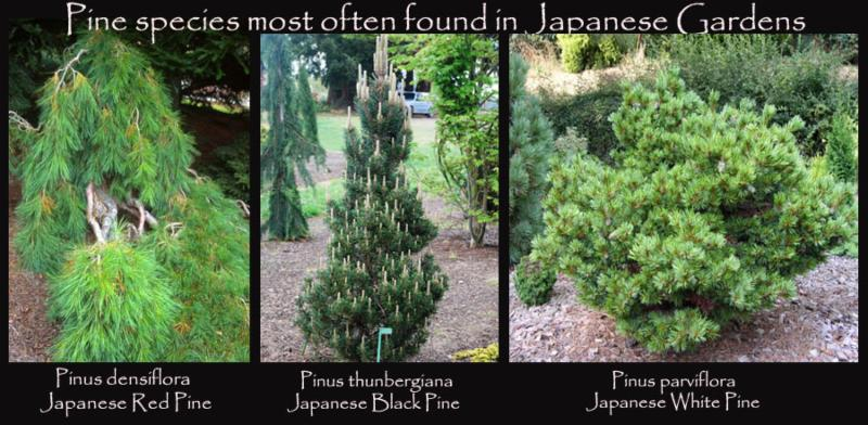 Plants For Japanese Gardens Singing Tree Gardens Nursery
