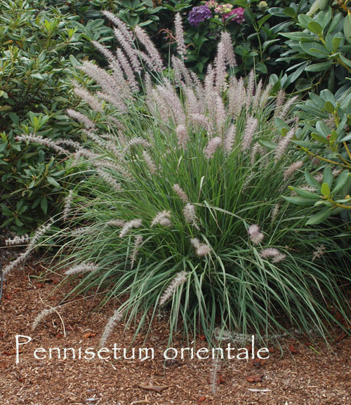 Ornamental grasses offer contrast for garden design for Ornamental grasses that stay green all year