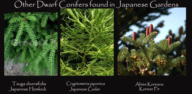 Other Dwarf Conifers