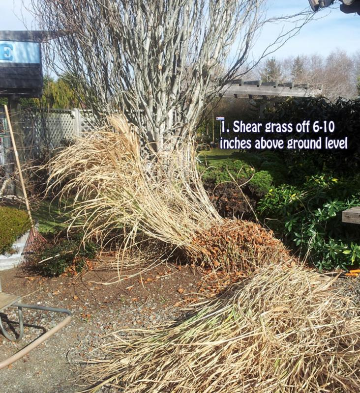 Pruning Miscanthus