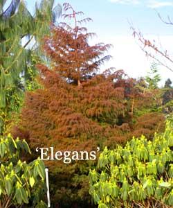 Elegans winter foliage