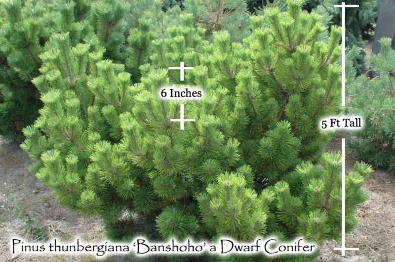 Growth Rate of Conifers