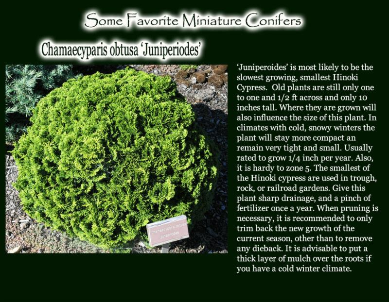 Juniperoides
