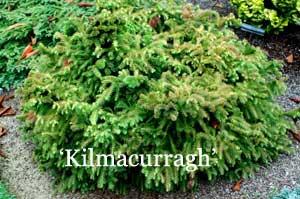 Cryptomeria j. 'Kilmacurragh'