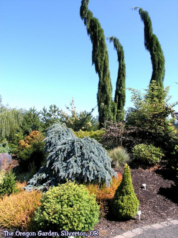 Conifer Display at the Oregon Garden