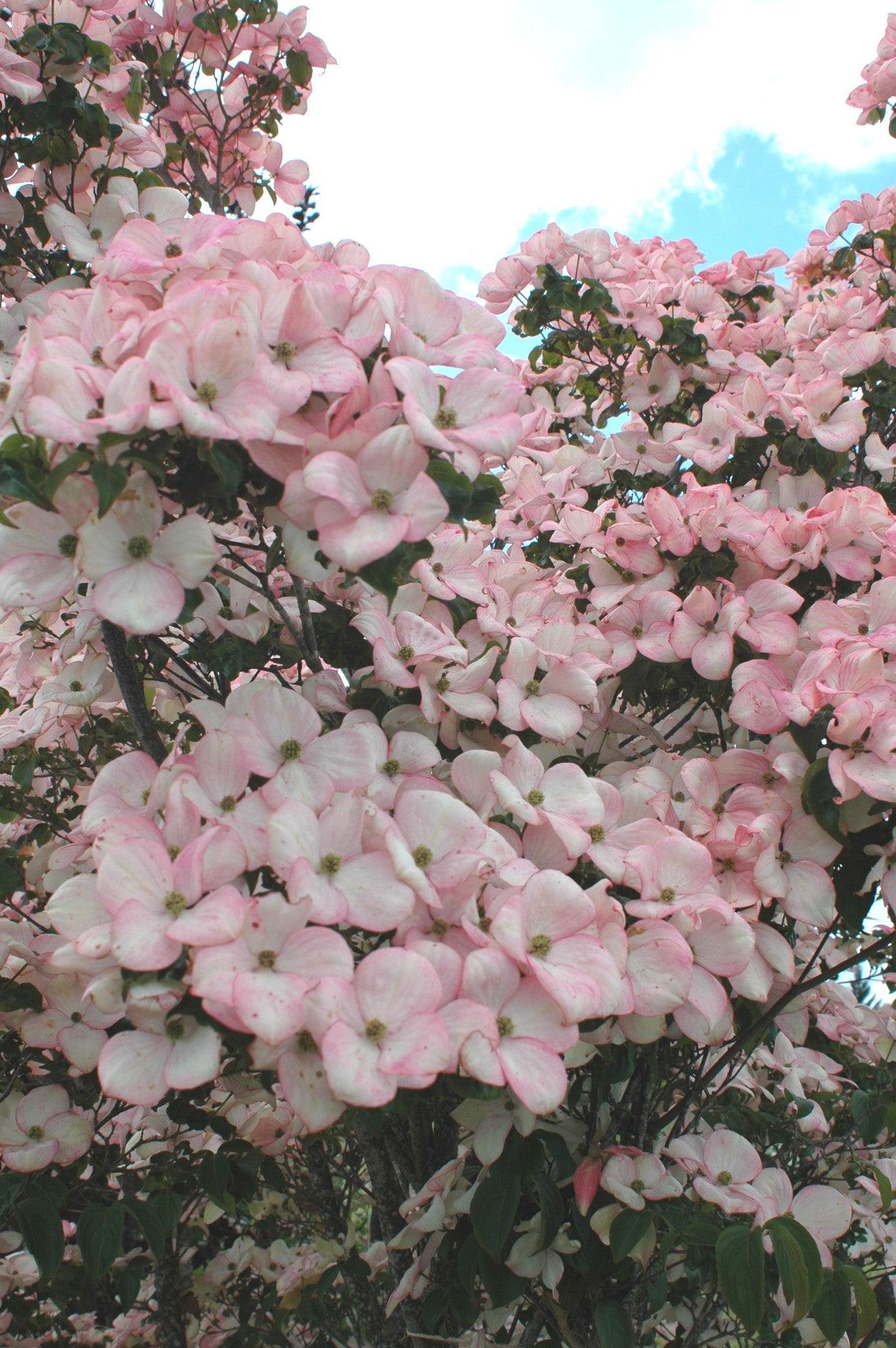 Satomi Singing Tree Gardens Nursery