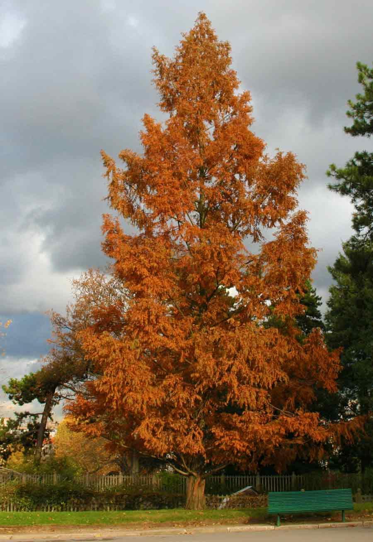 Dawn Redwood Singing Tree Gardens Nursery
