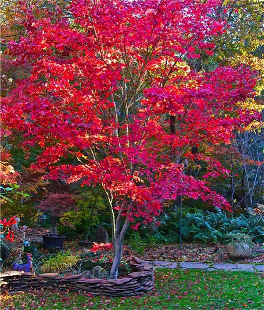 Fireglow Singing Tree Gardens Nursery