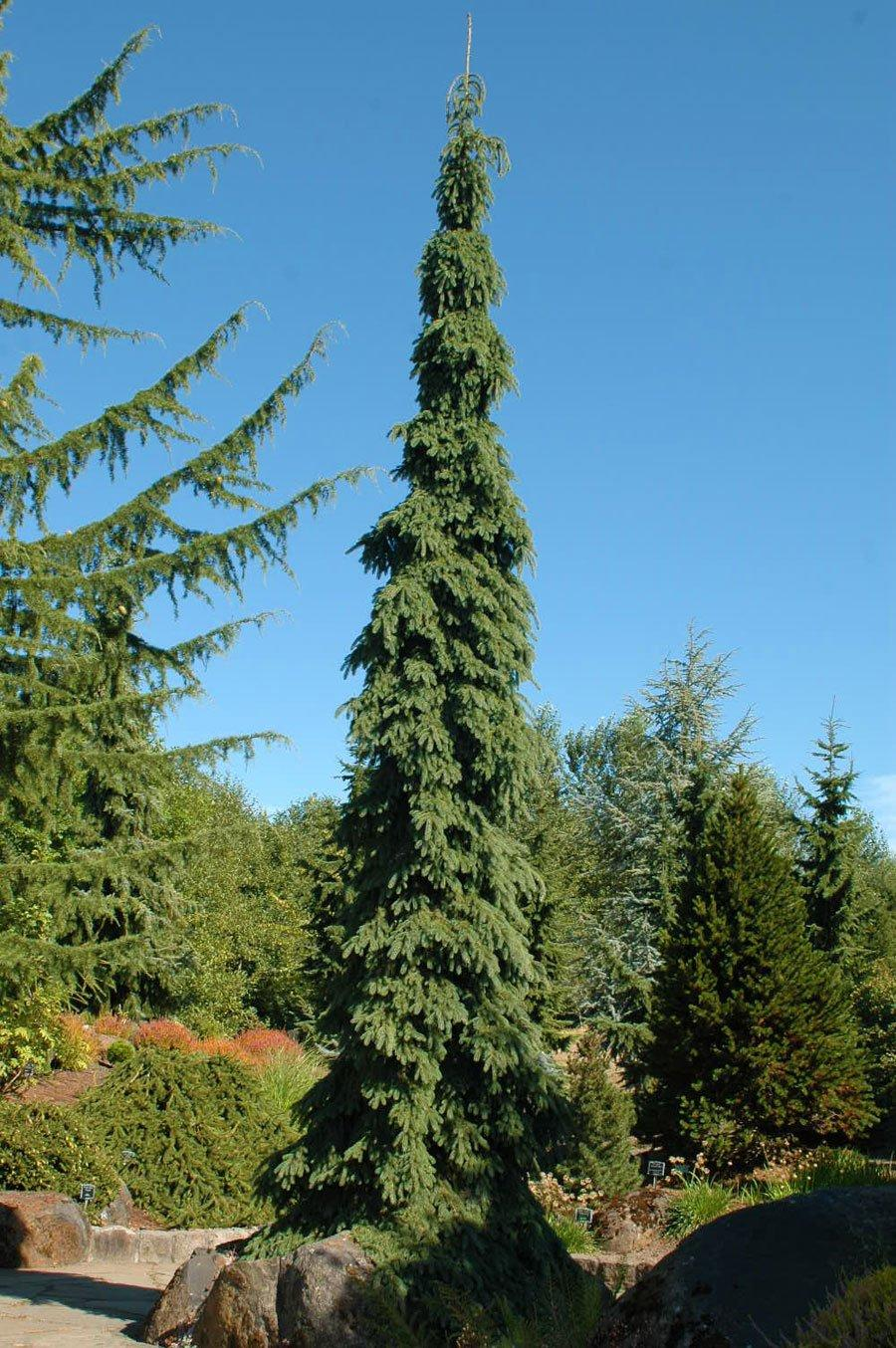 Picea Glauca Pendula Singing Tree Gardens Nursery