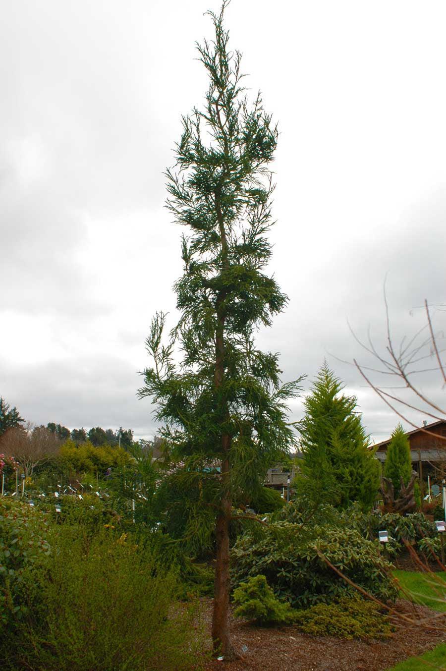 Ground Wire Color >> Rasen Sugi | Singing Tree Gardens Nursery