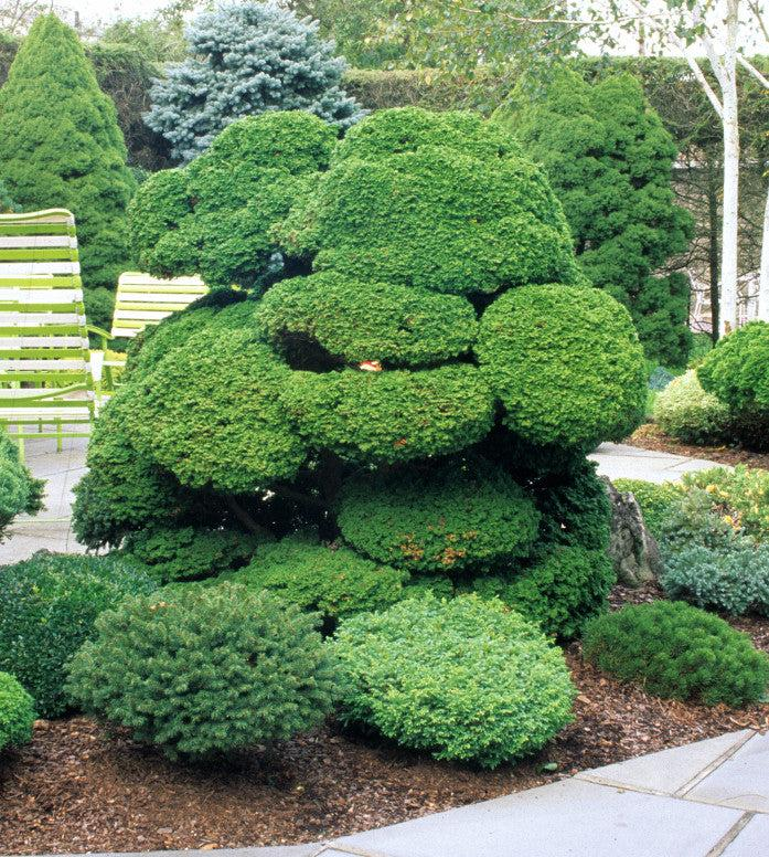 Reis Dwarf Singing Tree Gardens Nursery
