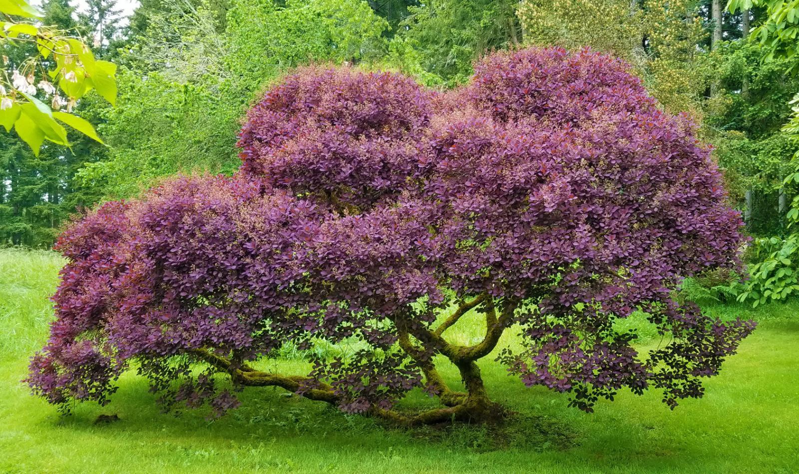 Stunning Royal Purple Smoke Tree Cotinus coggygria 2-3 Ft 3 Gal FREE Shipping!
