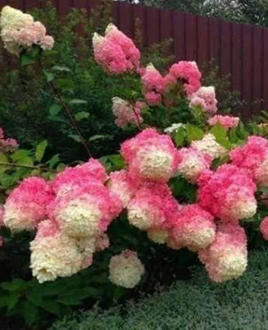 Vanilla Strawberry Singing Tree Gardens Nursery