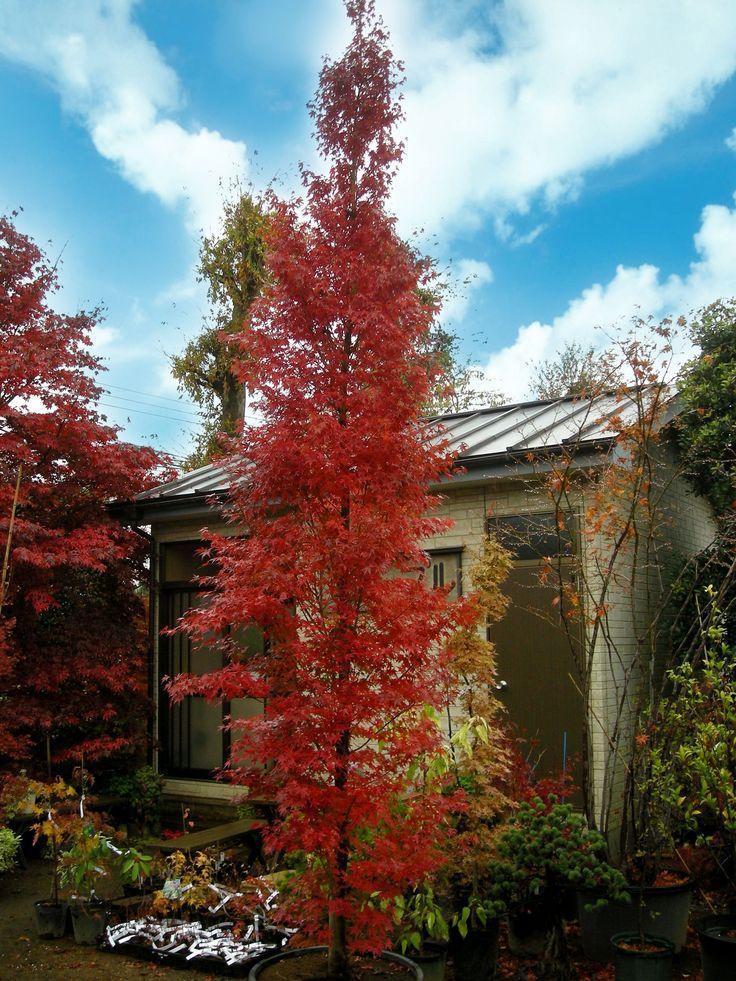Tsukasa Silhouette Singing Tree Gardens Nursery
