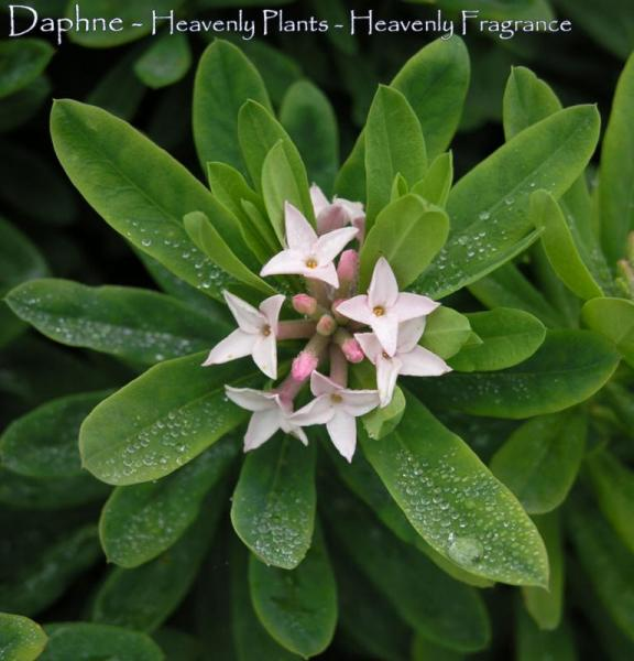 Daphne - Fragrance For The Soul