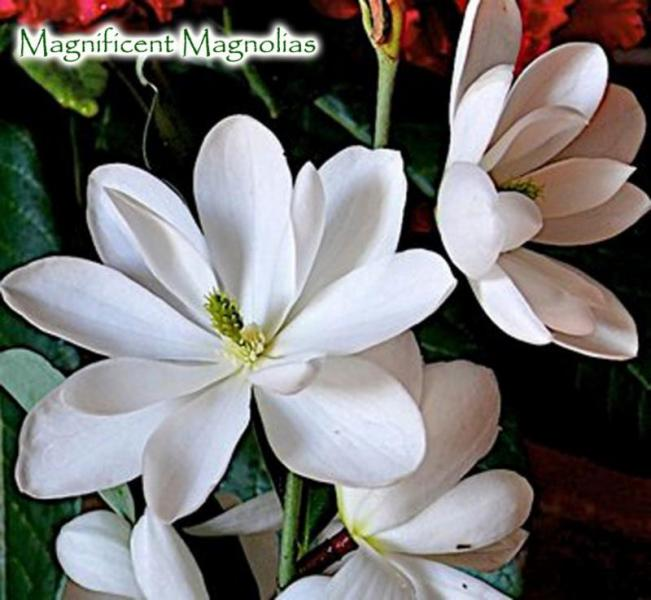 Magnificent Magnolias Singing Tree Gardens Nursery