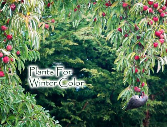 Plants for Winter Color