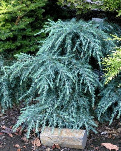 Dwarf Conifers Singing Tree Gardens Nursery