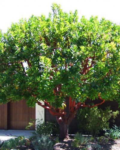 Marina Strawberry Tree Singing Tree Gardens Nursery