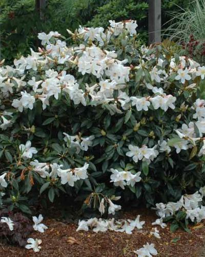 R Odoriferum Singing Tree Gardens Nursery
