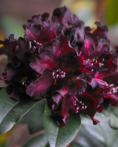 rhododendron black girls personals Dating a black woman for the first time can be terrifying i mean, you never know when her three big brothers and her uncle mikey come around the corner in their new suv and start a drive-by shooting.