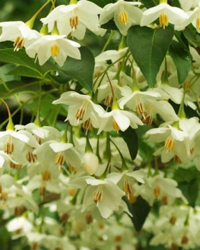 Japanese Snowbell Singing Tree Gardens Nursery