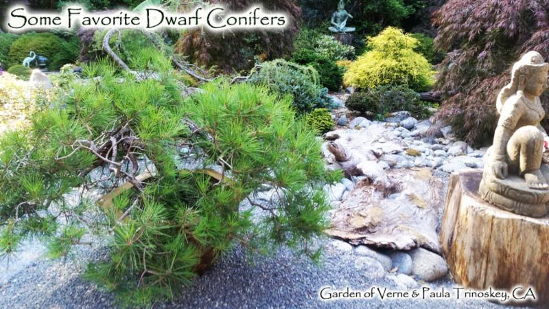 Some Favorite Dwarf Conifers